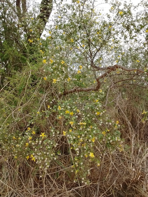 Larrea divaricata: una esperanza contra la calvicie